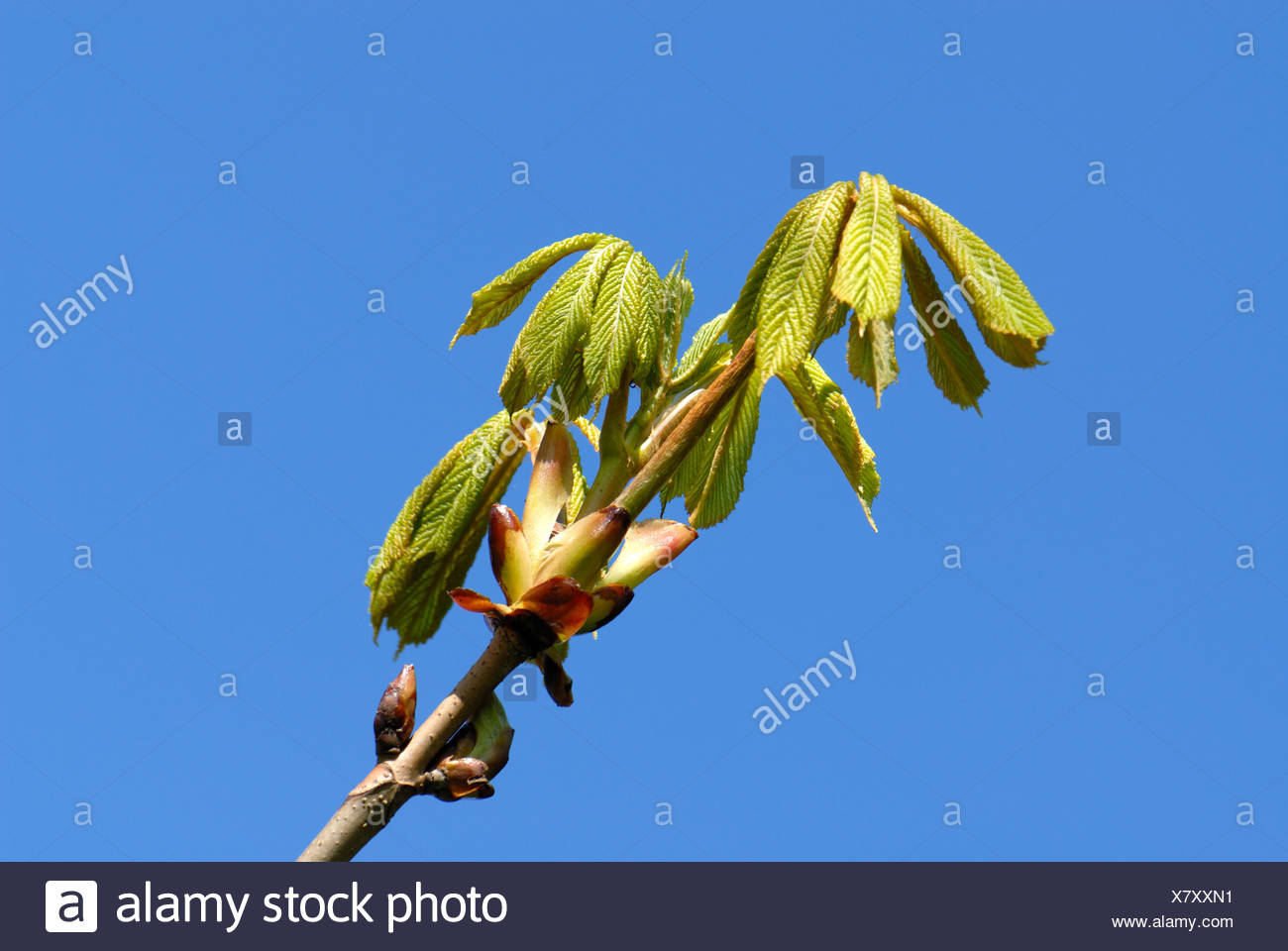 Horse chestnut Aesculus hippocastanum young leaves against a blue spring sky Stock Photo
