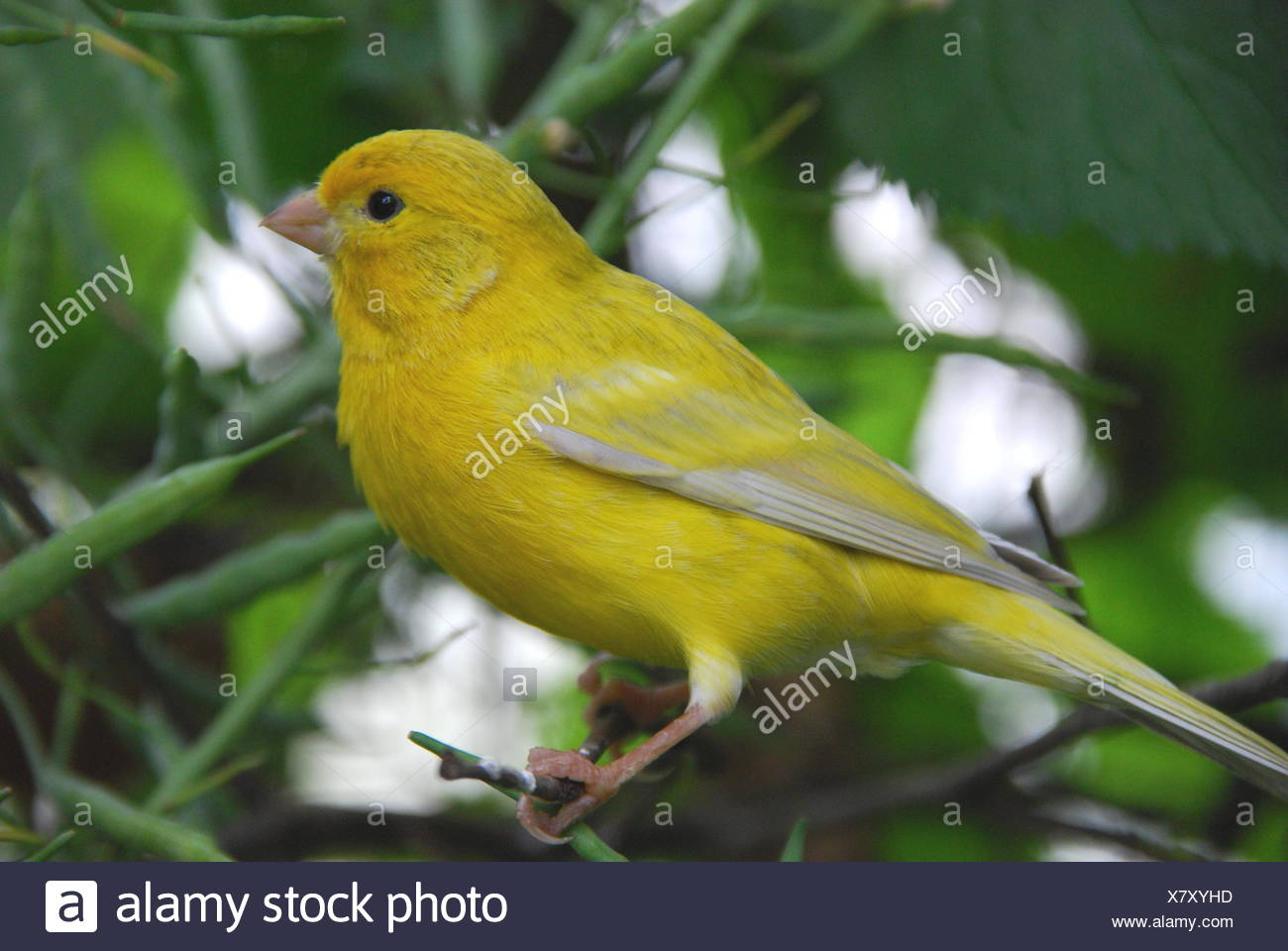 Green Canary Canaries Bird Y...
