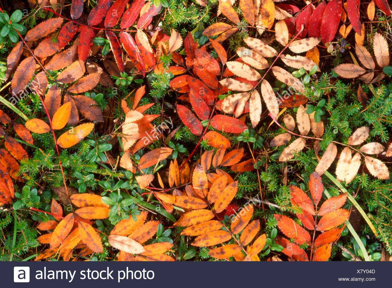 Autumn leaves of European Rowan (Sorbus aucuparia) covering the forest floor, Pragser Wildsee, Bolzano-Bozen, Italy, Europe Stock Photo
