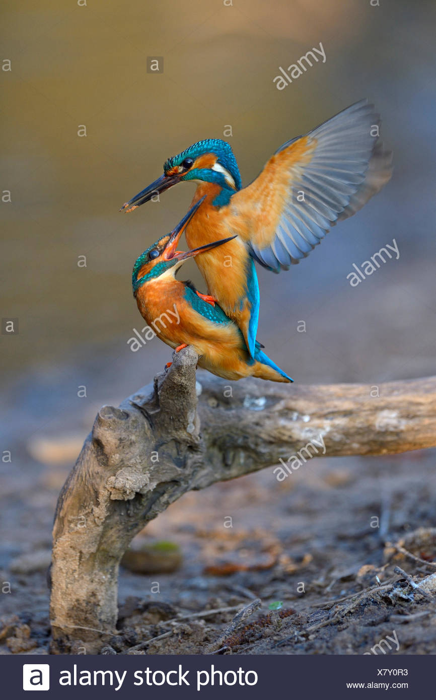 Kingfisher (Alcedo atthis), male with clay at the tip of its beak has its mating attempt blocked by female - Stock Image