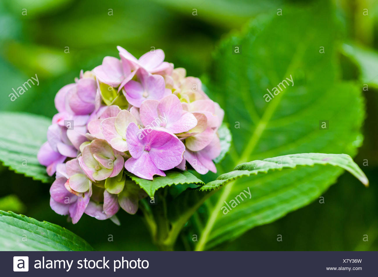Close-Up Of Pink Hydrangeas Blooming Outdoors - Stock Image