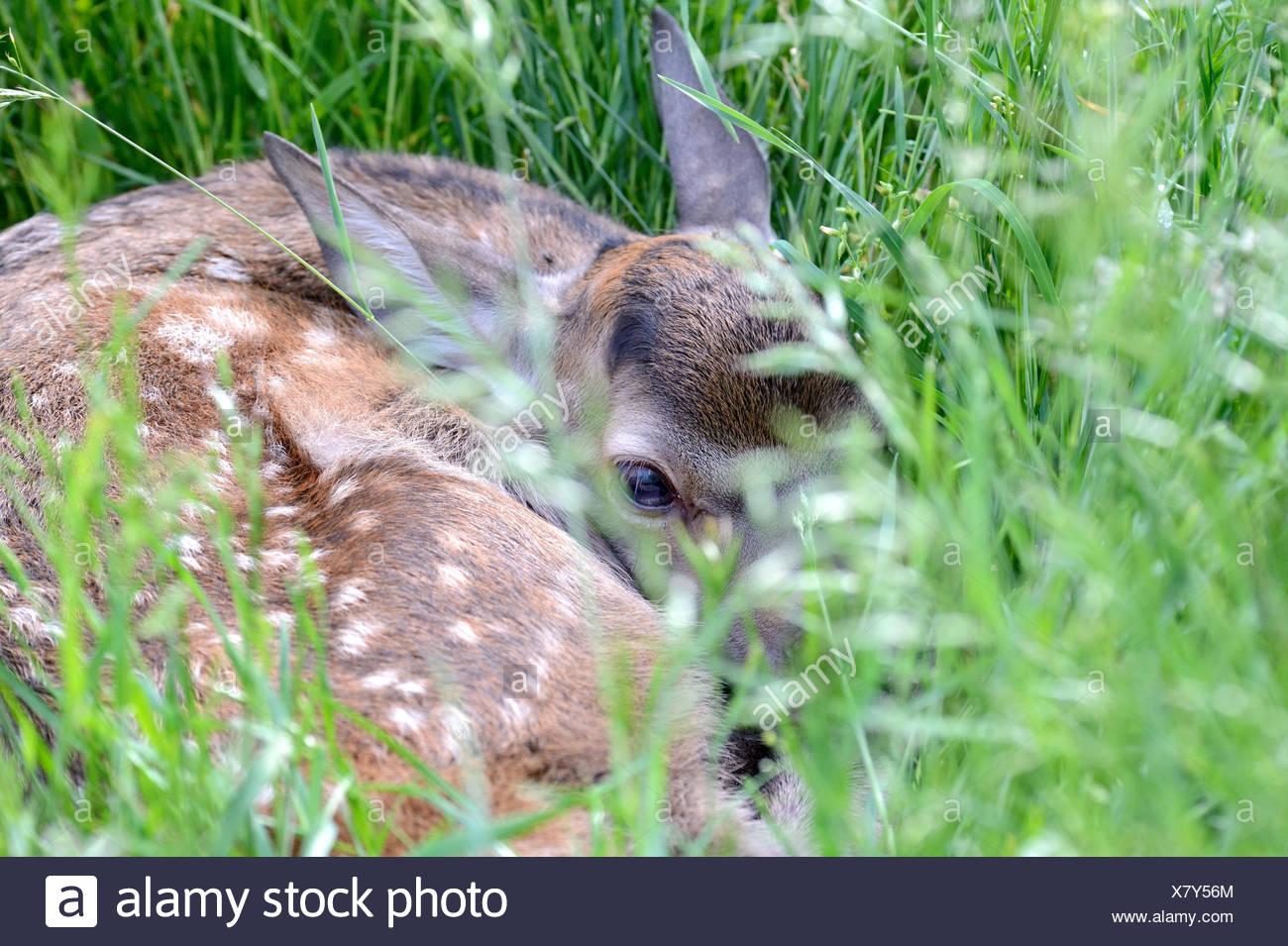 Red deer, Cervus elaphus, calf, meadow, detail, - Stock Image