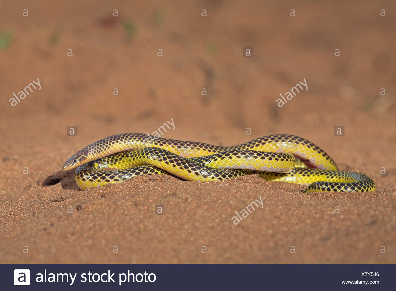 photo of a transvaal quill-snouted snake on sand - Stock Image
