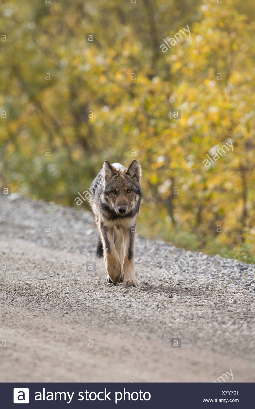 Wolf, Canis lupus, pup, autumn, walking on dirt road, Grant Creek pack, Denali National Park, Alaska, vertical, wild Stock Photo