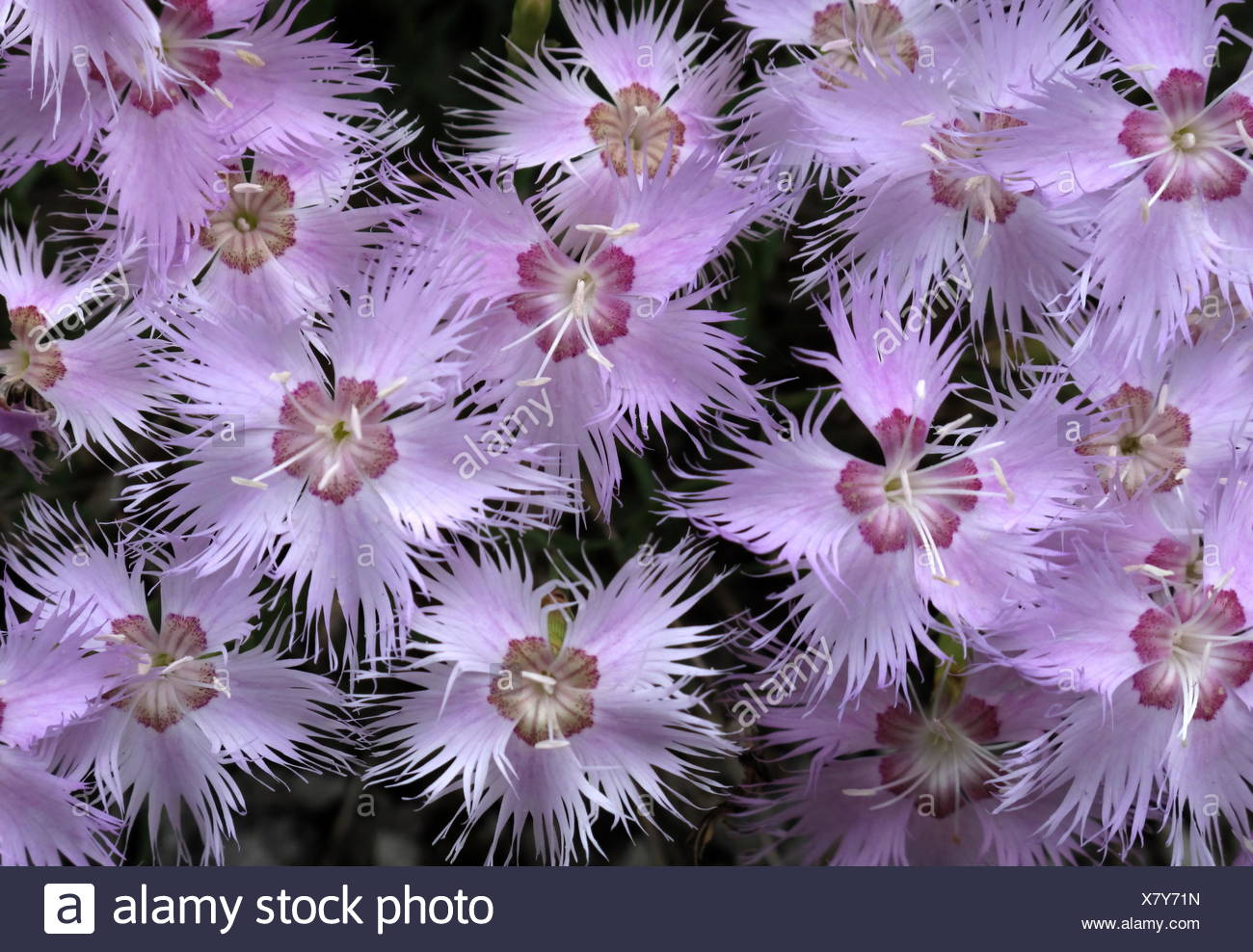 feather cloves - Stock Image