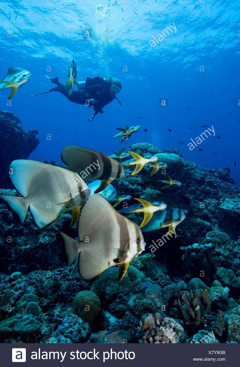 Diver and schooling Spadefish. - Stock Image