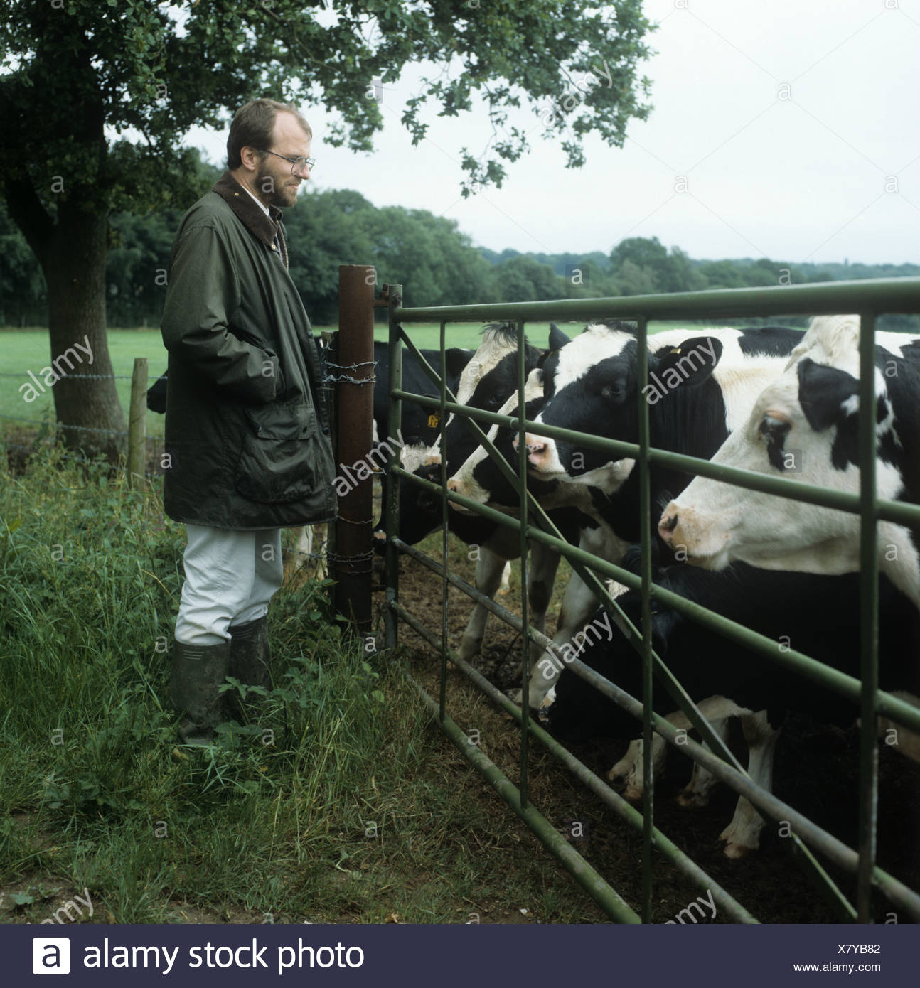 Farmer standing by a gate with cows looking on Hampshire - Stock Image