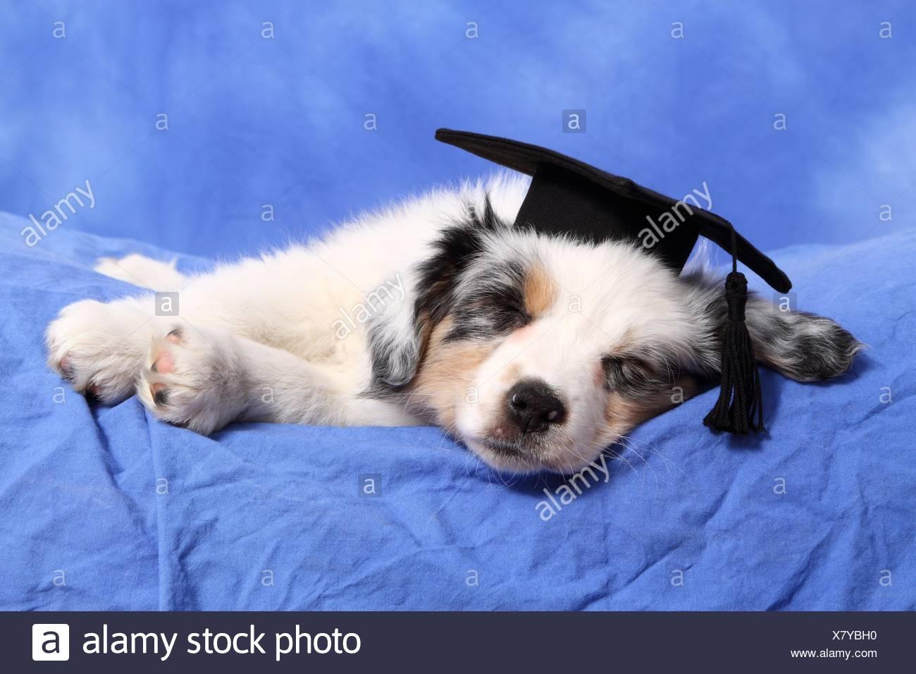 Graduate Dog Stock Photos & Graduate Dog Stock Images - Alamy
