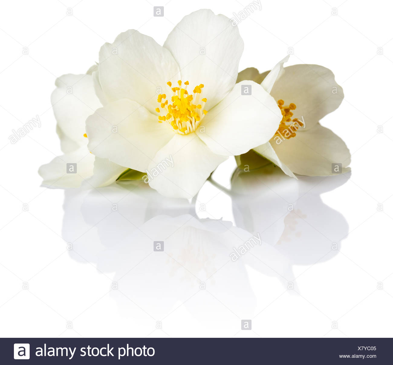 Jasmine - Stock Image