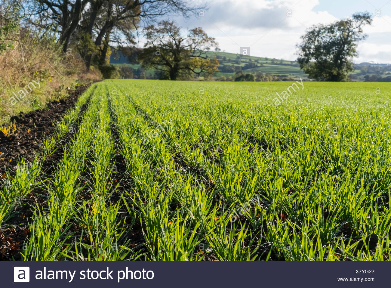 Plants at an early growing stage in a field; Yorkshire, England - Stock Image