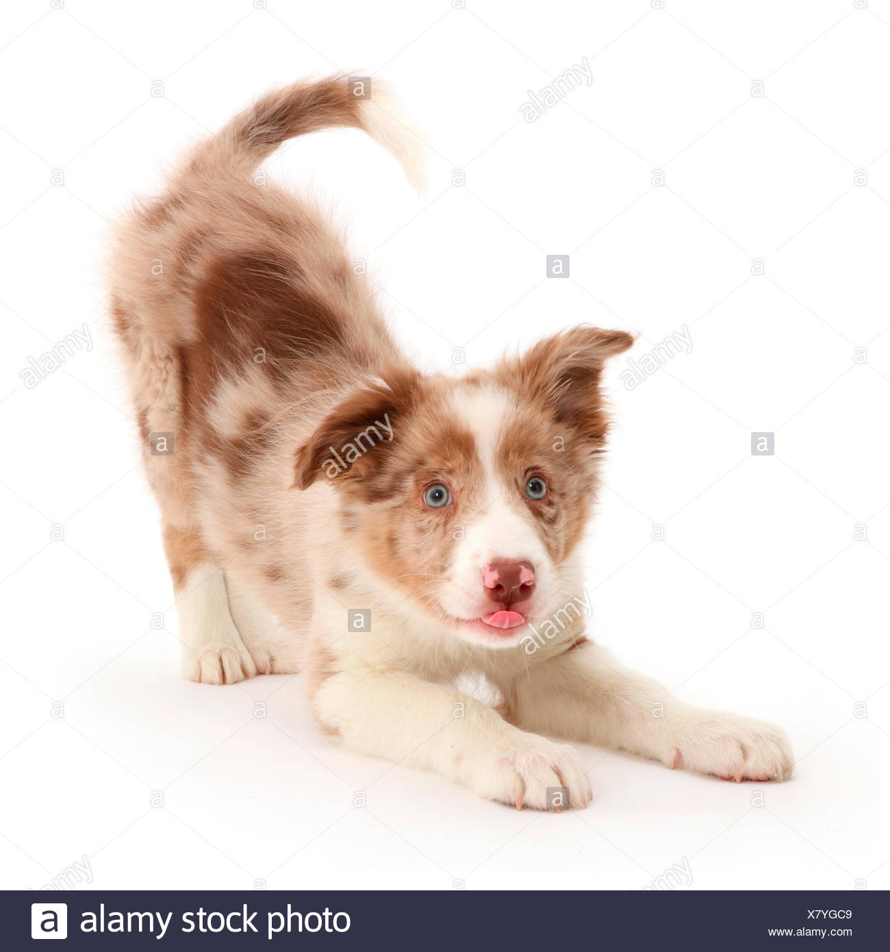 Red Border Collie High Resolution Stock Photography And Images Alamy