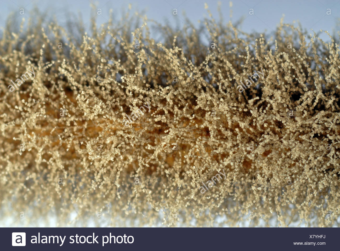 Grey mould (Gray mold), Botrytis cinerea, mycelium on Pelargonium stem - Stock Image