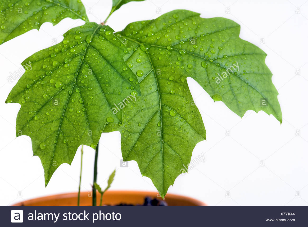 little tree - Stock Image