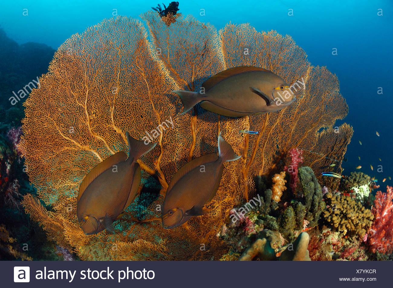 Surgeonfish in Coral Reef, Acanthurus sp., Similan Islands, Thailand - Stock Image