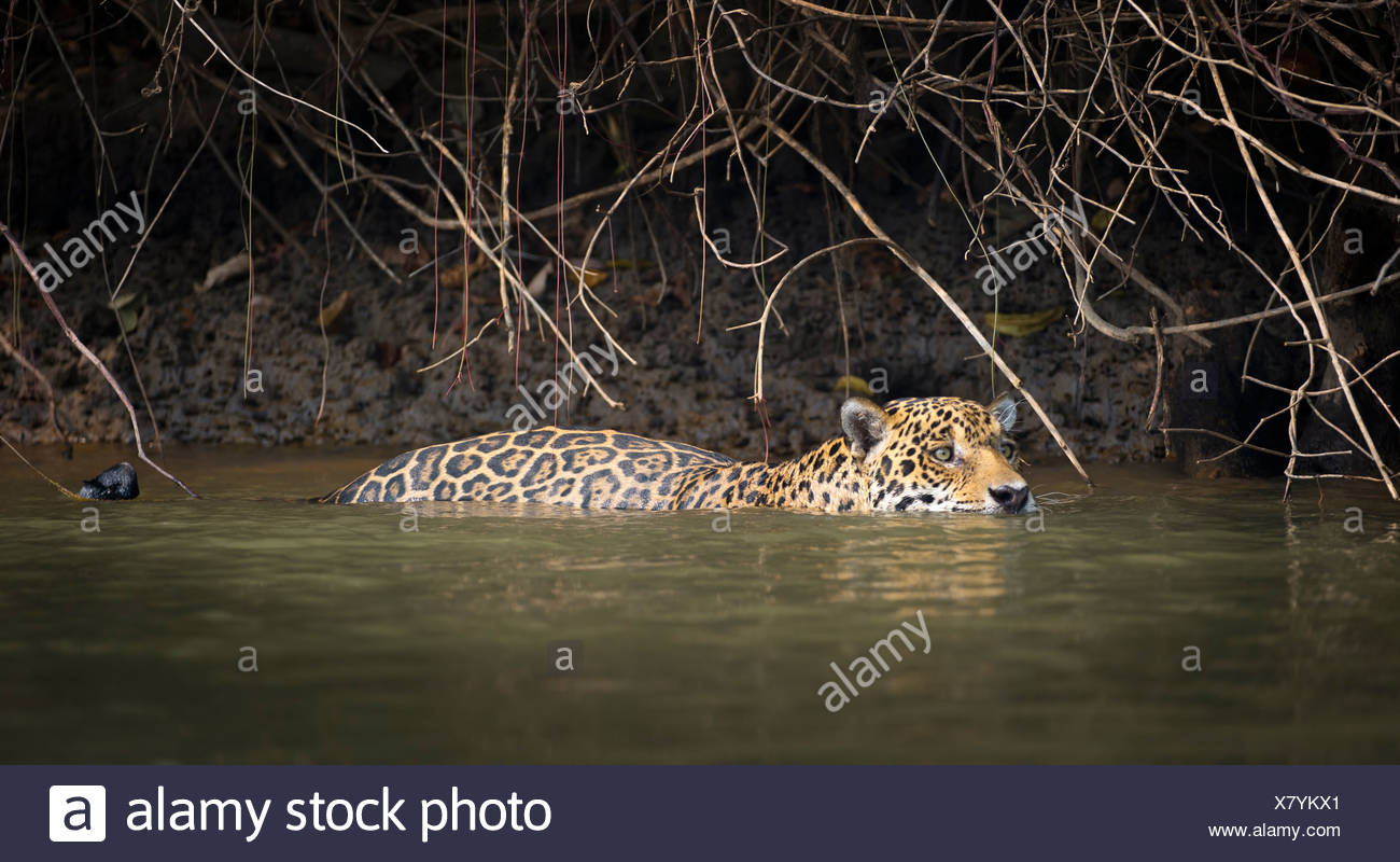 Wild male Jaguar swimming along the margins of the Piquiri River, a tributary of Cuiaba River, Northern Pantanal, Brazil. - Stock Image