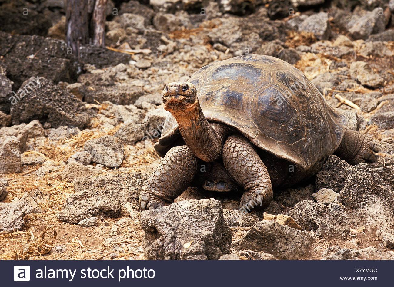 Giant Galapagos Tortoise, geochelone nigra, Adult on Rocks, Galapagos Islands - Stock Image