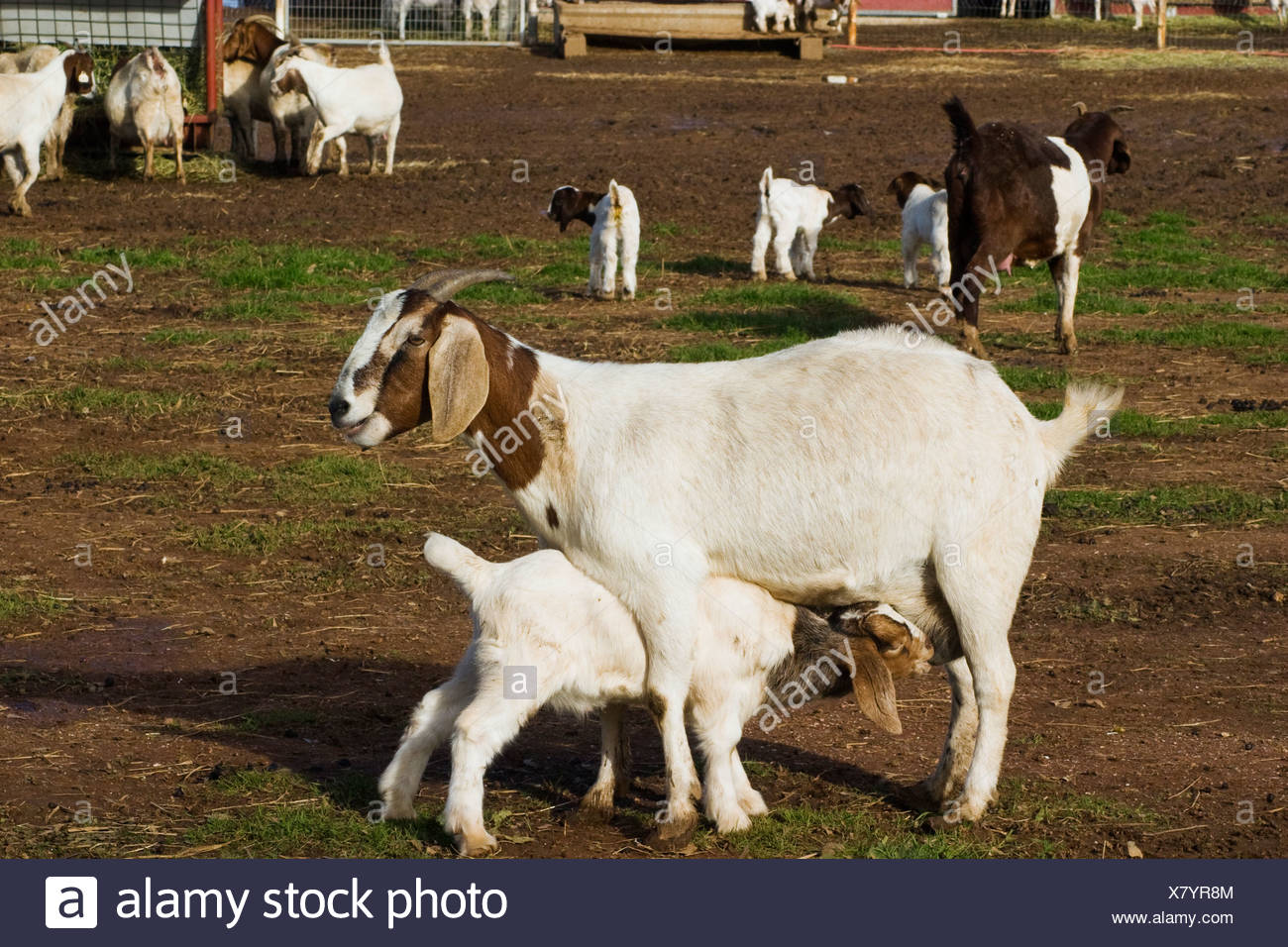 Livestock - A kid goat nurses from it's mother on a goat farm / near Corning, California, USA. - Stock Image