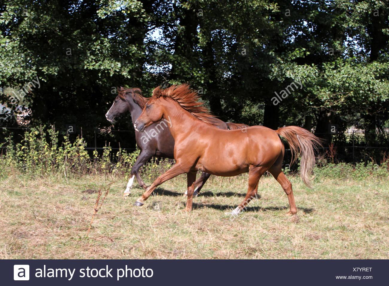 horse stallion gelding mare arab horse stallion gelding mare