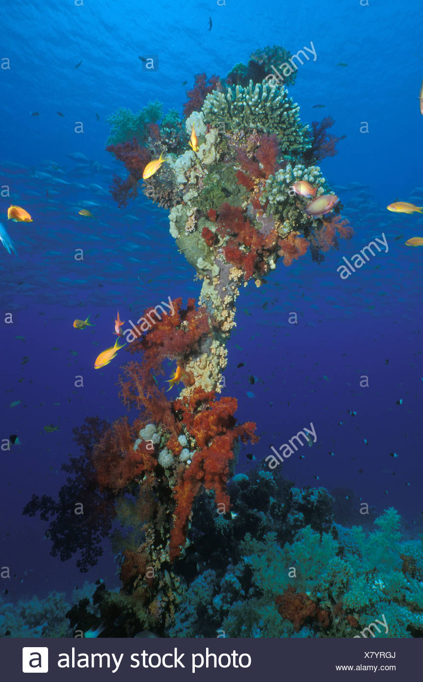 Coral Growing, Ras Mohammed, Sinai, Red Sea, Egypt - Stock Image