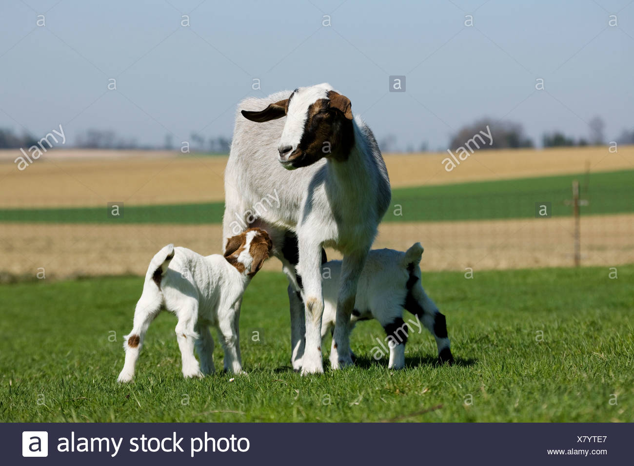 Two goat kids suckling from mother - Stock Image
