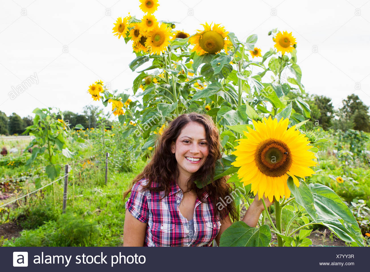 Portrait of young woman with yellow sunflowers in allotment - Stock Image