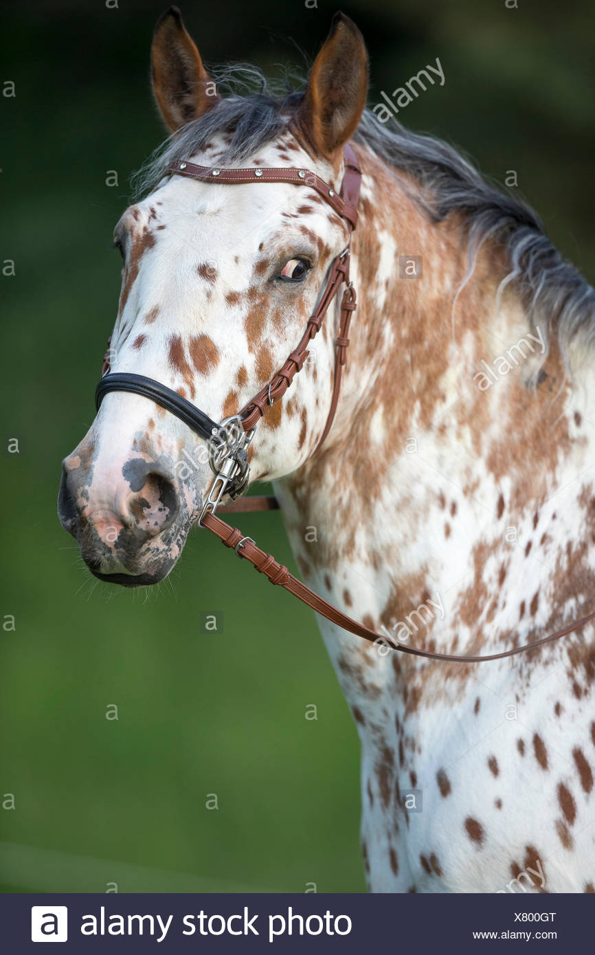 Knabstrup. Portrait of a leopard-spotted stallion, wearing a bridle without bit. Austria - Stock Image