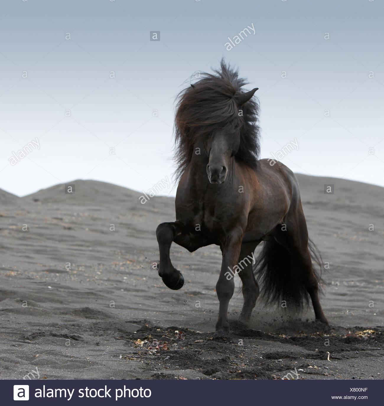 Pure Breed Icelandic Stallion at Beach, Iceland - Stock Image