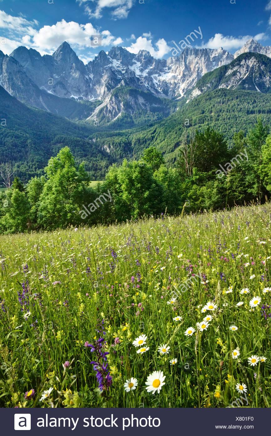 HAY MEADOWS in the Julian Alps. Spiks range near Kranjska Gora. Triglav National Park. Gorenjska. Slovenia - Stock Image