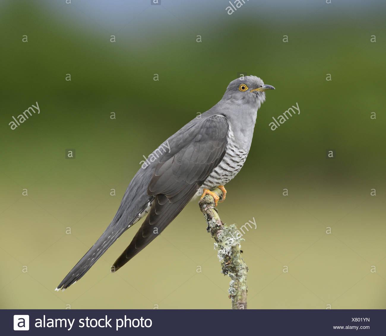 Cuckoo - Cuculus canorus - male - Stock Image