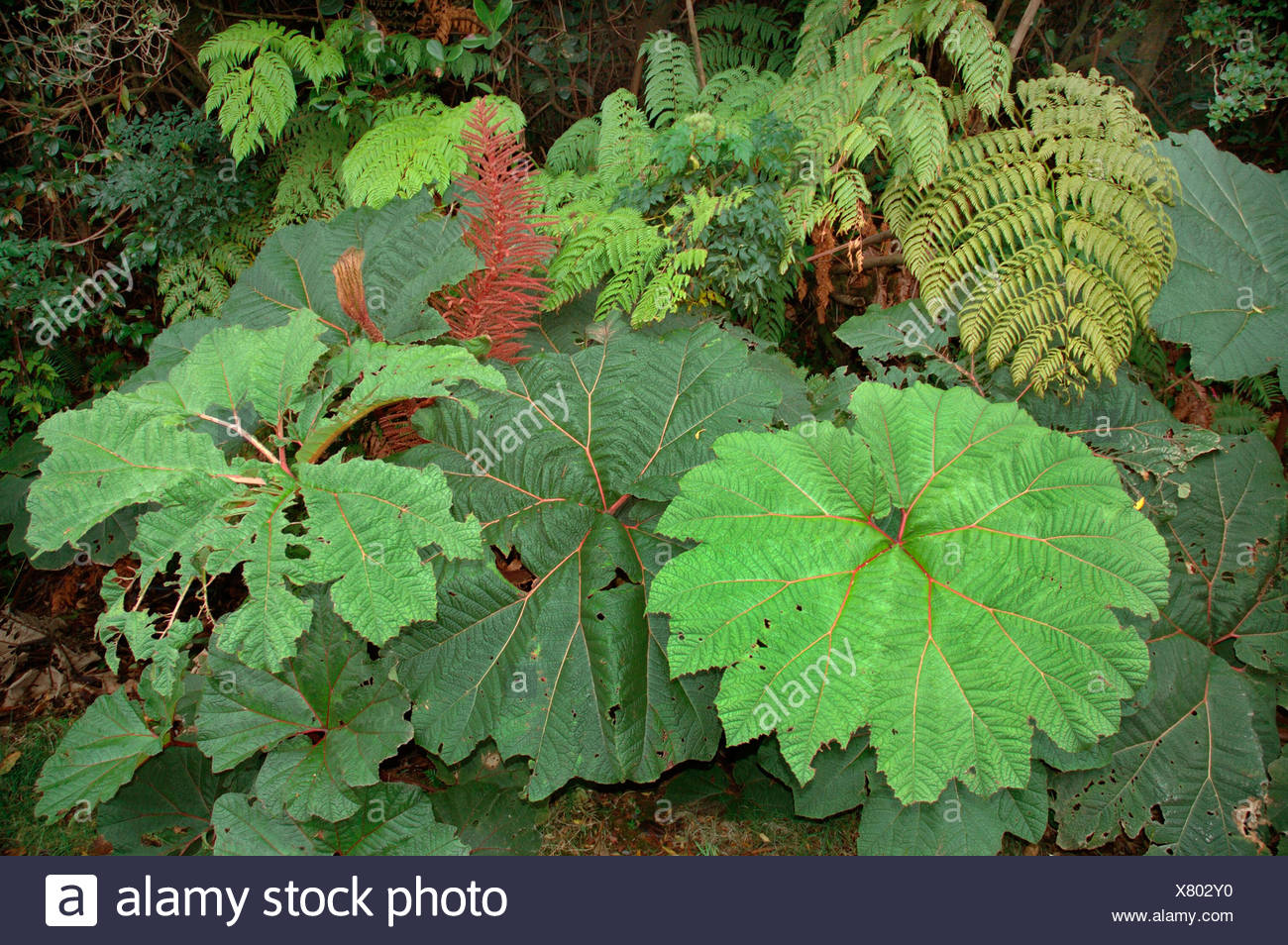 poor man's parasol (Gunnera Insignis), leaves, Costa Rica - Stock Image