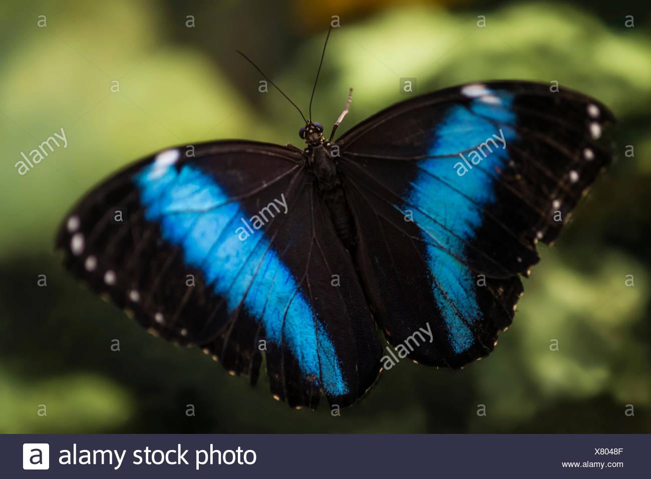 Peleides Blue Morpho, Common Morpho or The Emperor (Morpho peleides), Manaus, Manaus, Amazonas State, Brazil - Stock Image