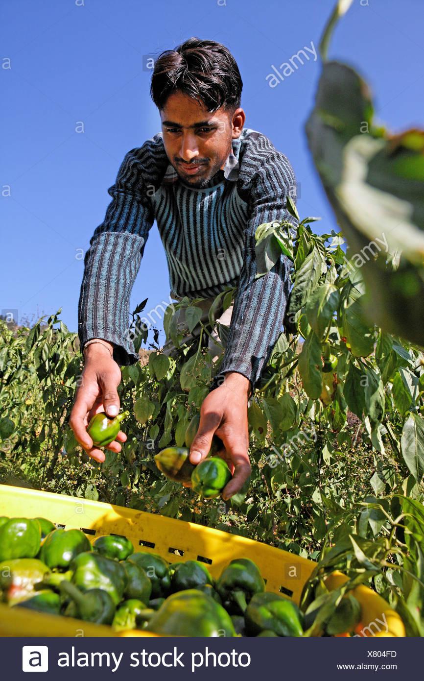 Harvesting bell peppers, Matiyama, Himachal Pradesh, India - Stock Image
