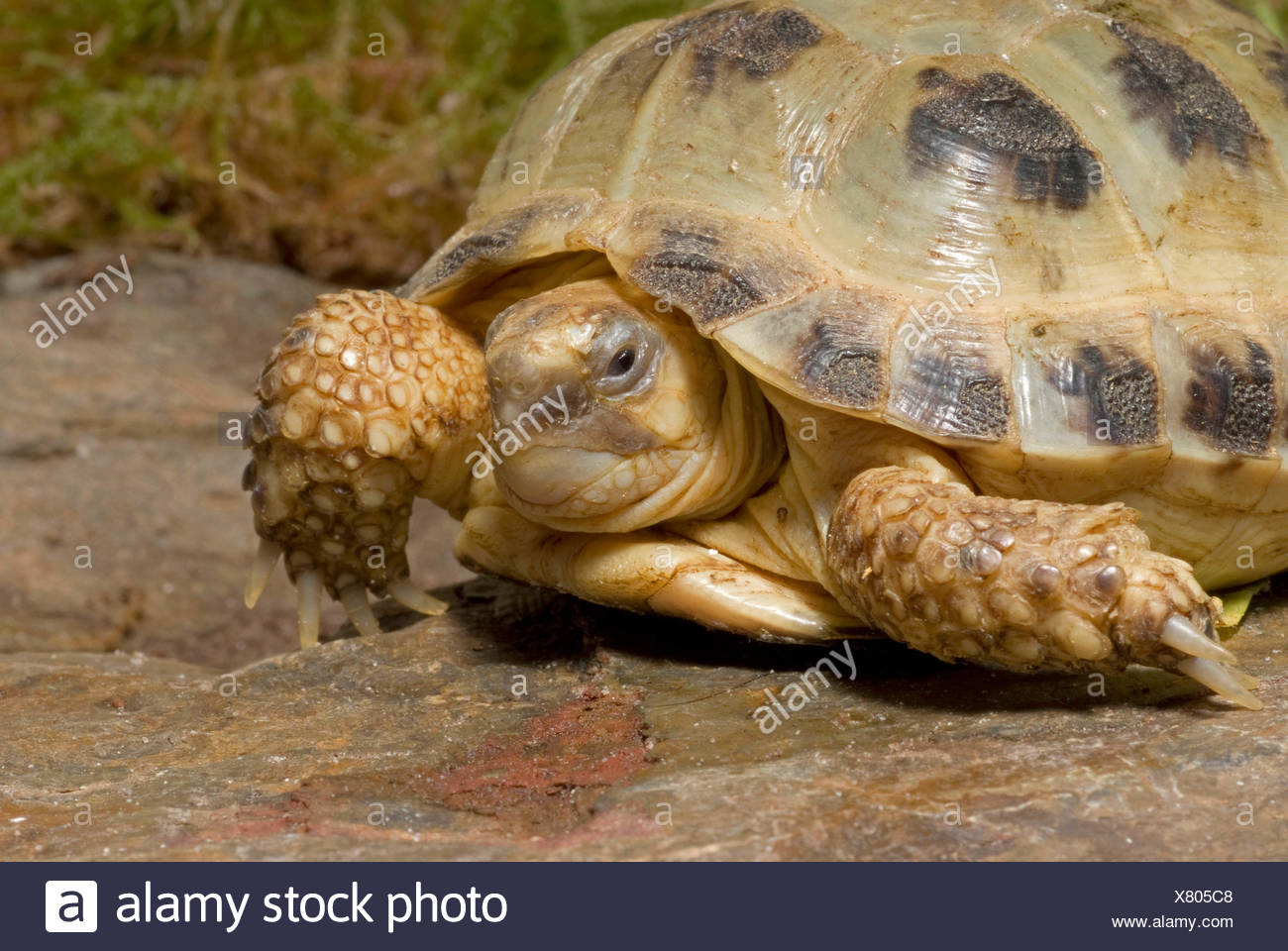 Horsfield's tortoise, four-toed tortoise, Central Asian tortoise (Agrionemys horsfieldi, Testudo horsfieldii), lying on a rock - Stock Image