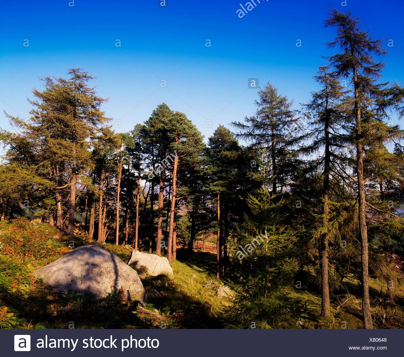 Co Wicklow, Ireland; Forest Near Sally Gap - Stock Image
