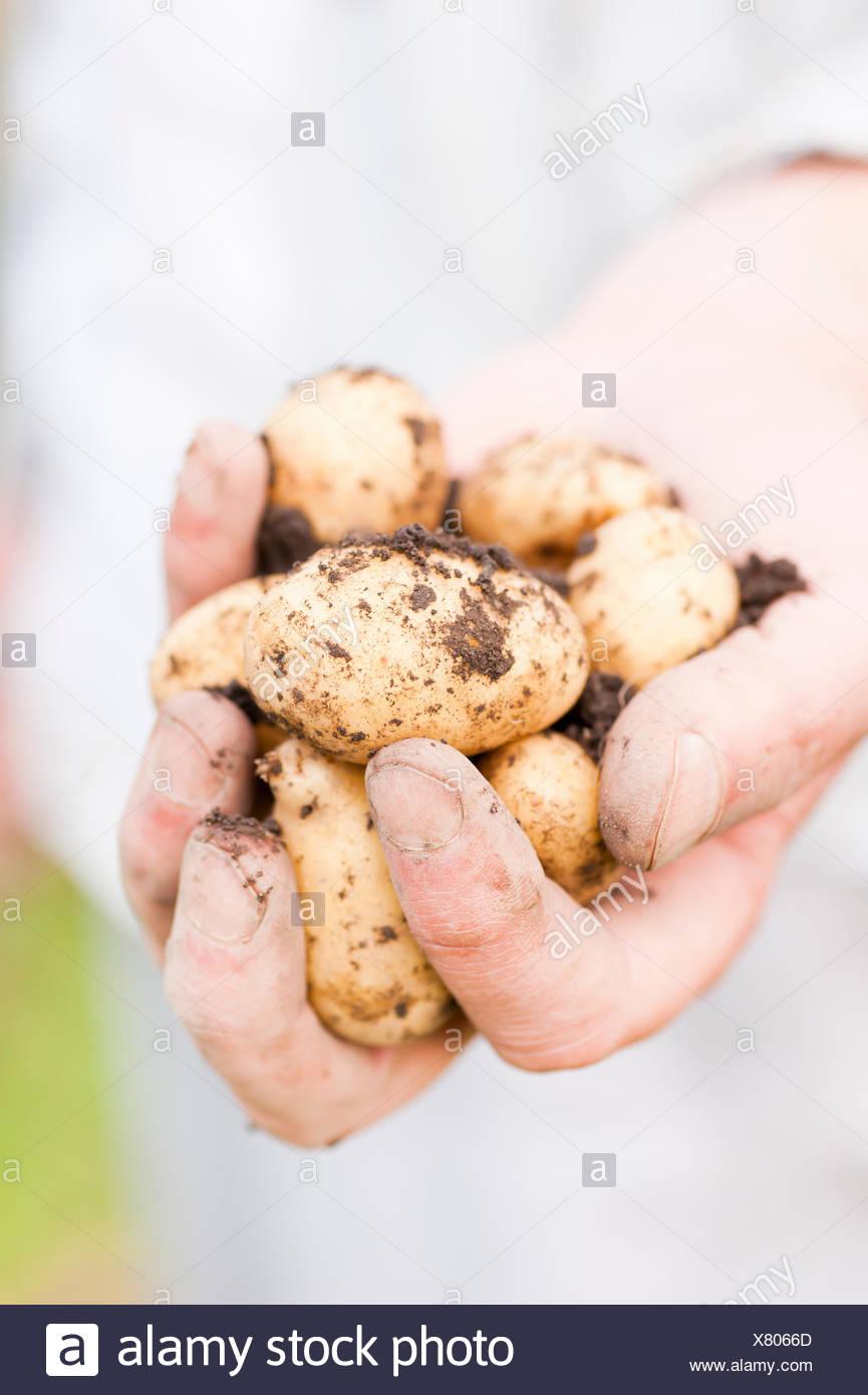 Hand holding organically grown earthy potatoes - Stock Image
