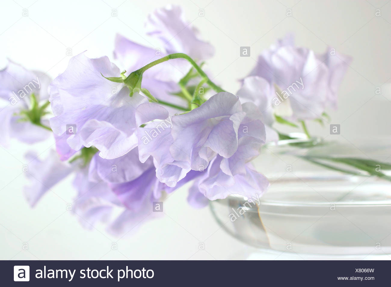 Maybe double flower petunias? - Stock Image
