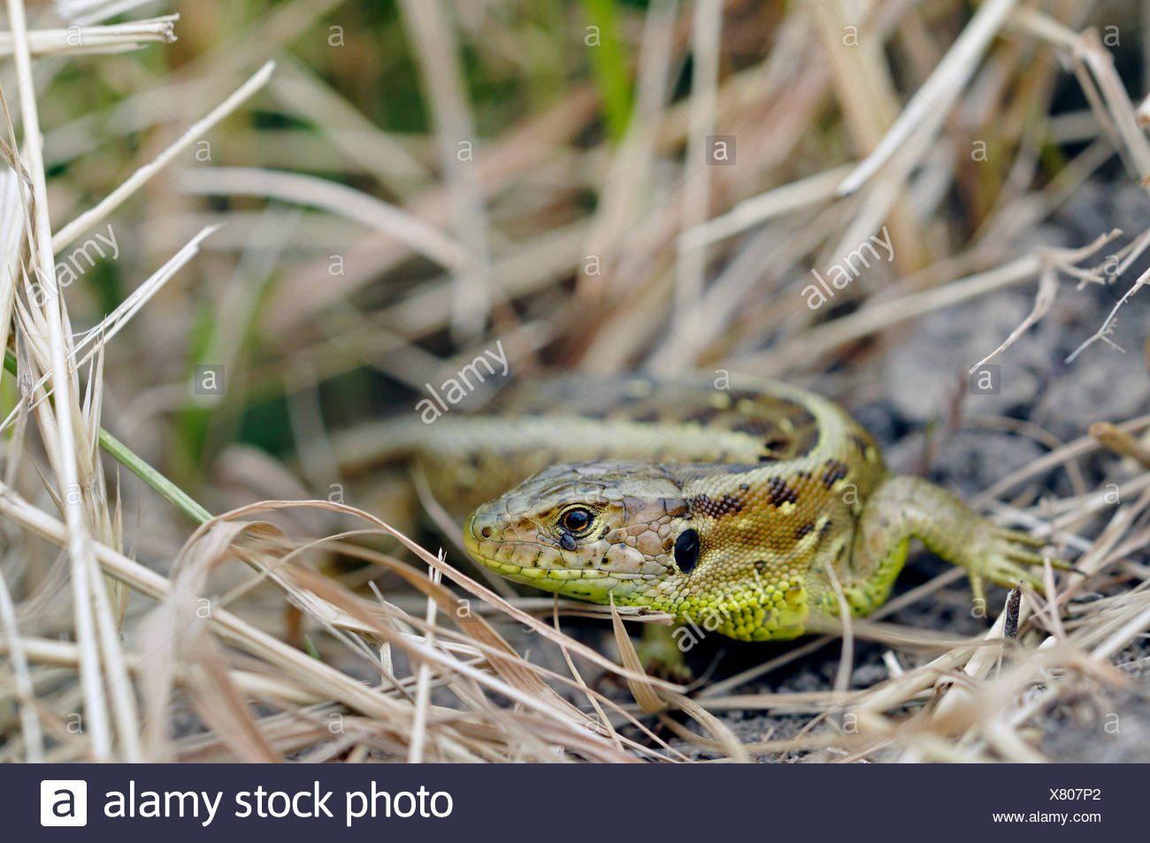 sand lizard (Lacerta agilis), female in front of retreat, Germany - Stock Image