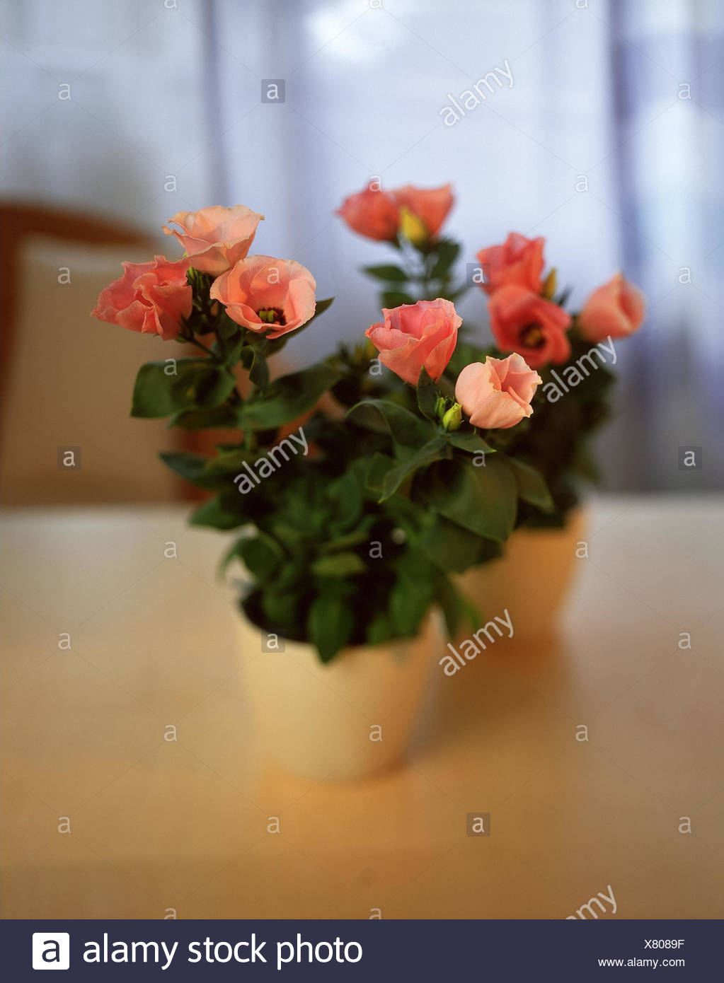Eustoma grandiflorum, syn. Lisianthus russelianus, 'Rose Bell' potted plant, blossoms, pink, potted flower, nice cup, Gentianaceae, gentian plants - Stock Image