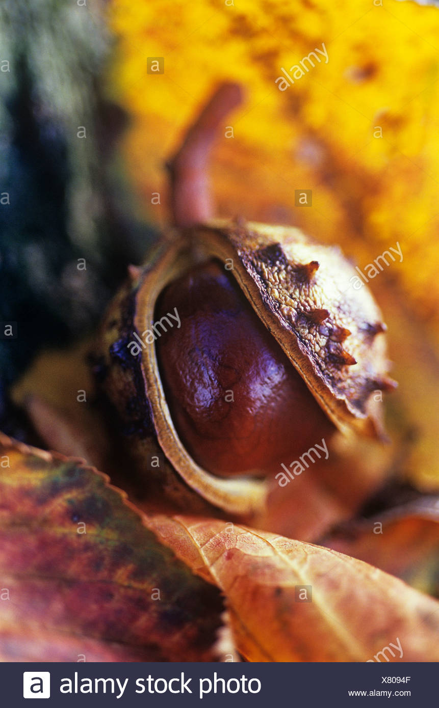 Aesculus hippocastanum Horse chestnut / conker - Stock Image
