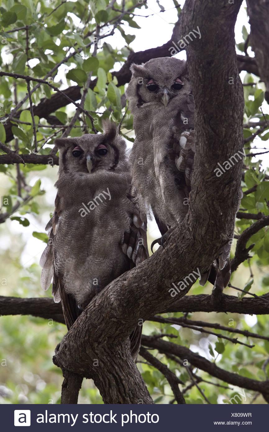 Verreaux's Eagle owl's rest in tree near Lebala Camp - Botswana Stock Photo