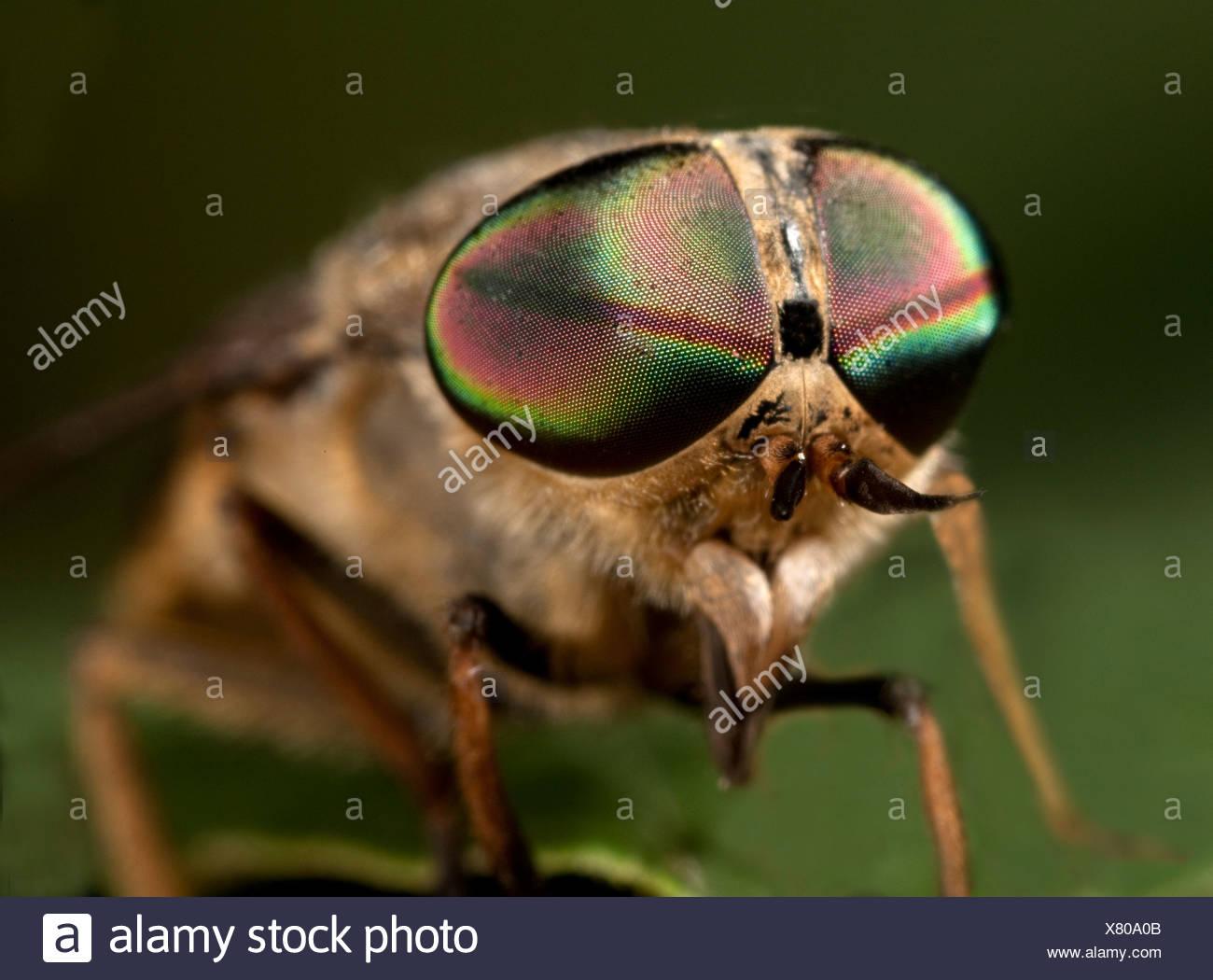 Horse Fly Tabanus bromius macro close up showing large compound eye - Stock Image