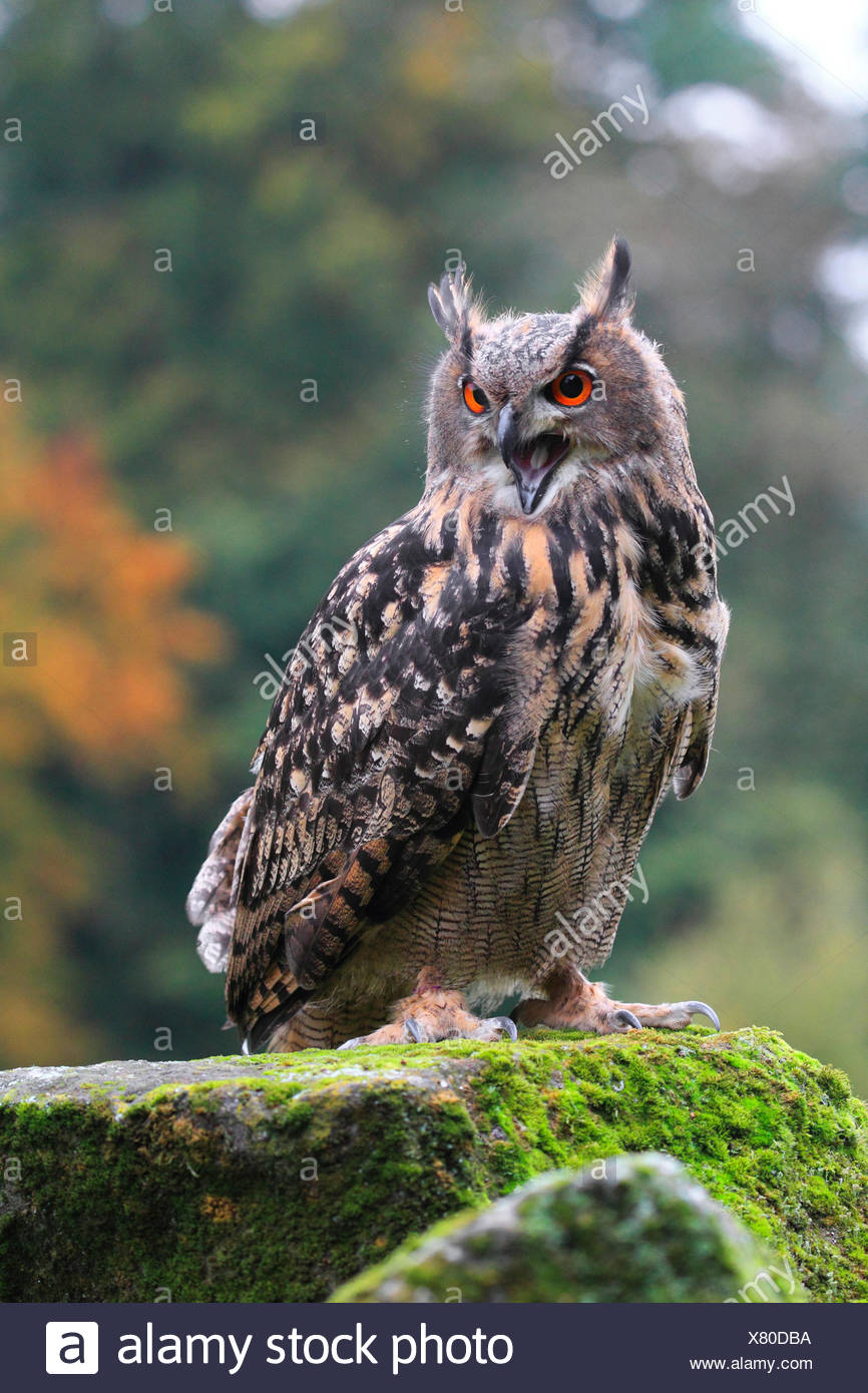 northern eagle owl (Bubo bubo), sitting with open bill on a mossy lookout, Germany - Stock Image