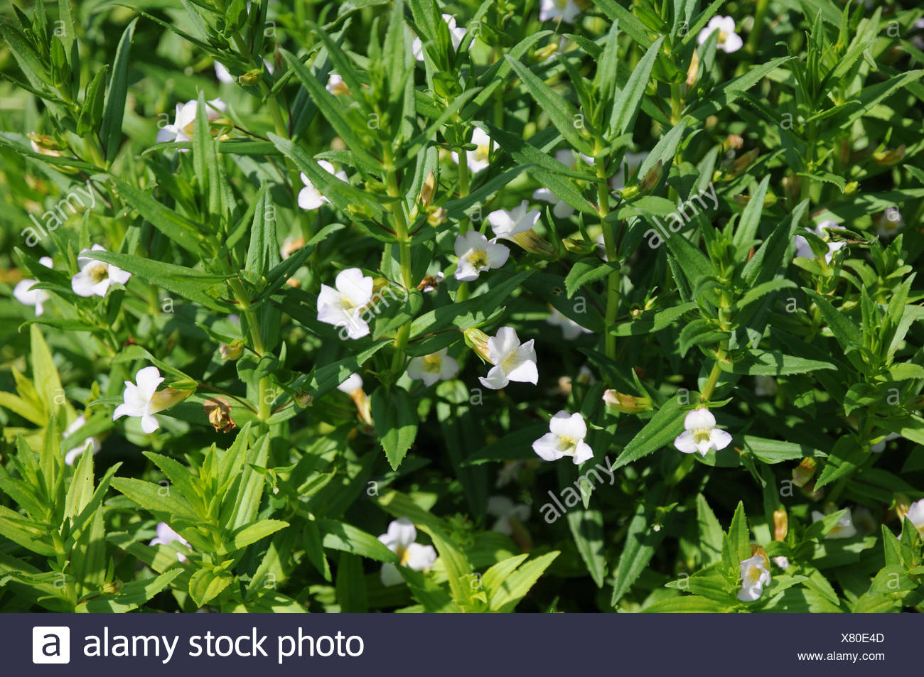 Herb of grace - Stock Image