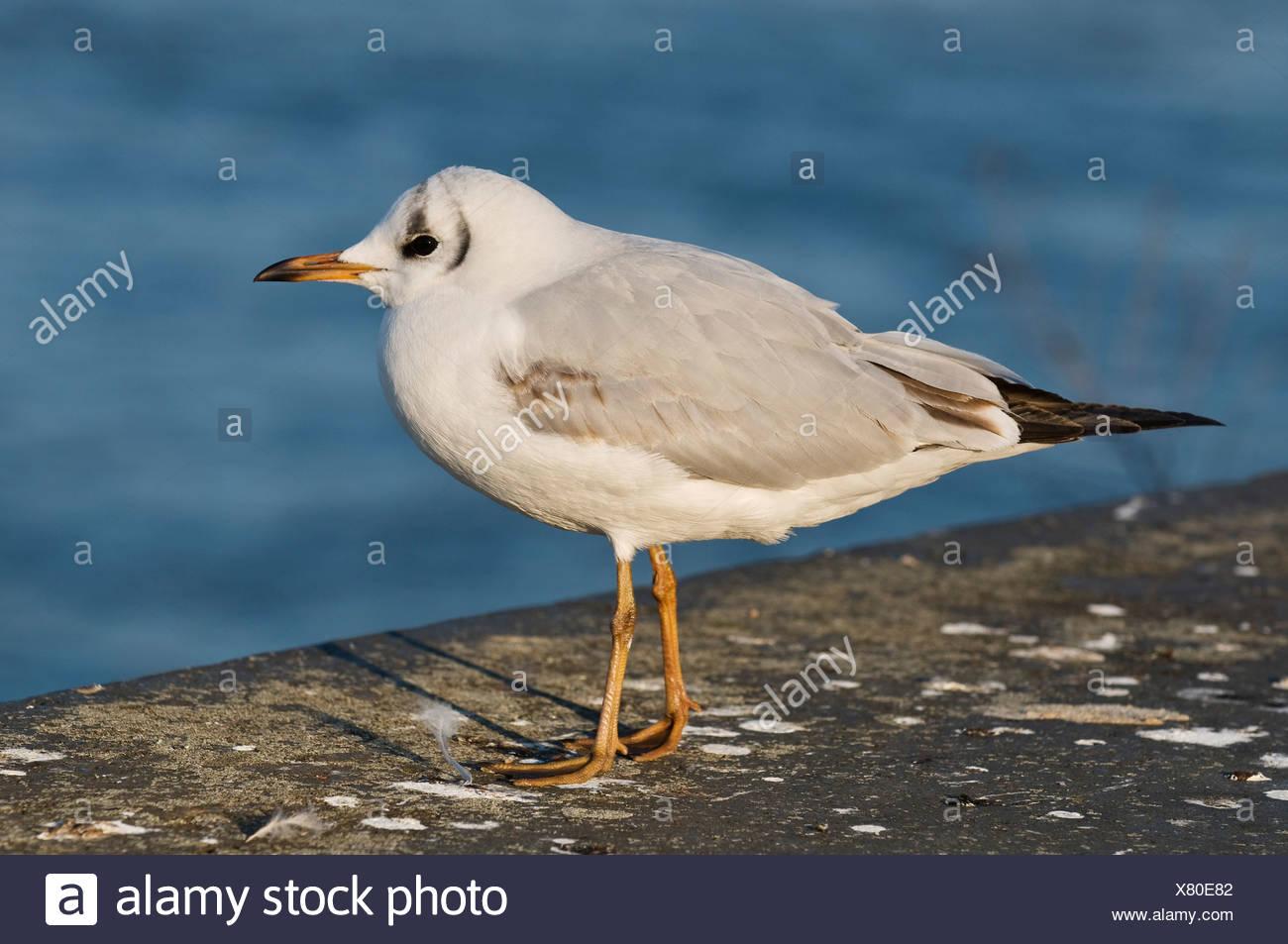 Black-headed gull (Larus ridibundus), immature, first winter, Bonn, North Rhine-Westphalia, Germany, Europe - Stock Image