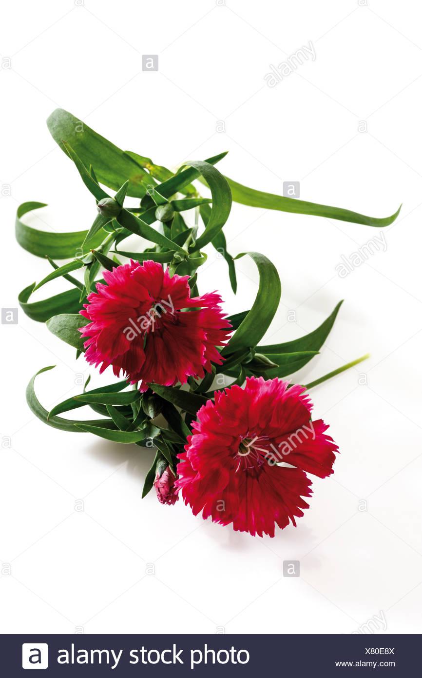 Carnation flowers Stock Photo