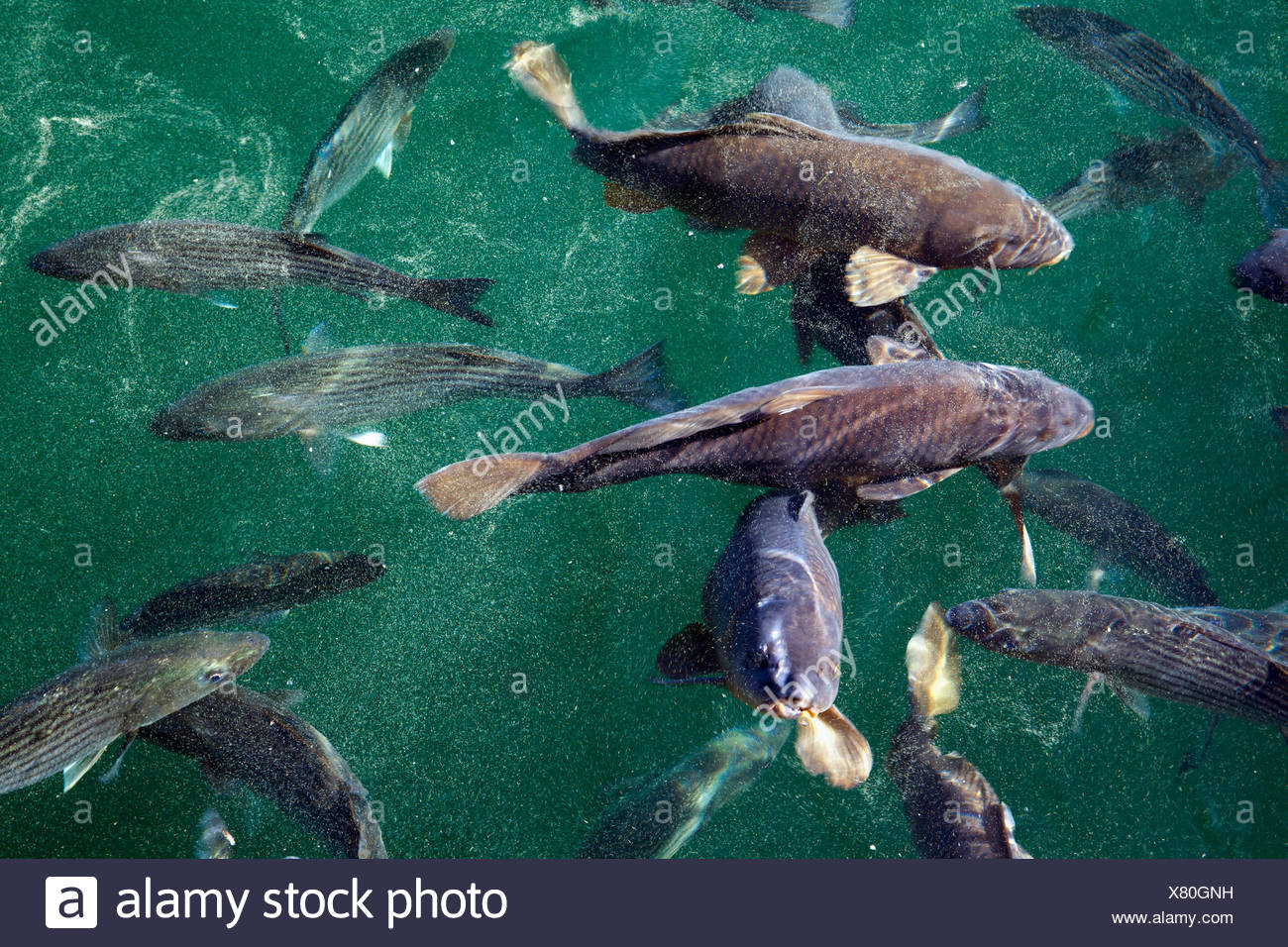 Striped Bass Stock Photos & Striped Bass Stock Images - Alamy