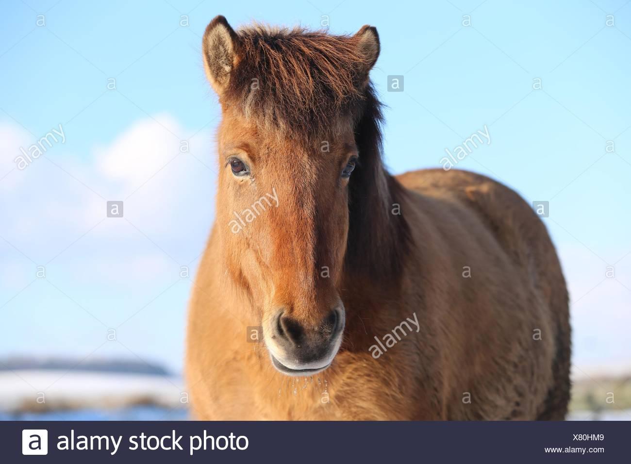 Icelandic horse Portrait - Stock Image