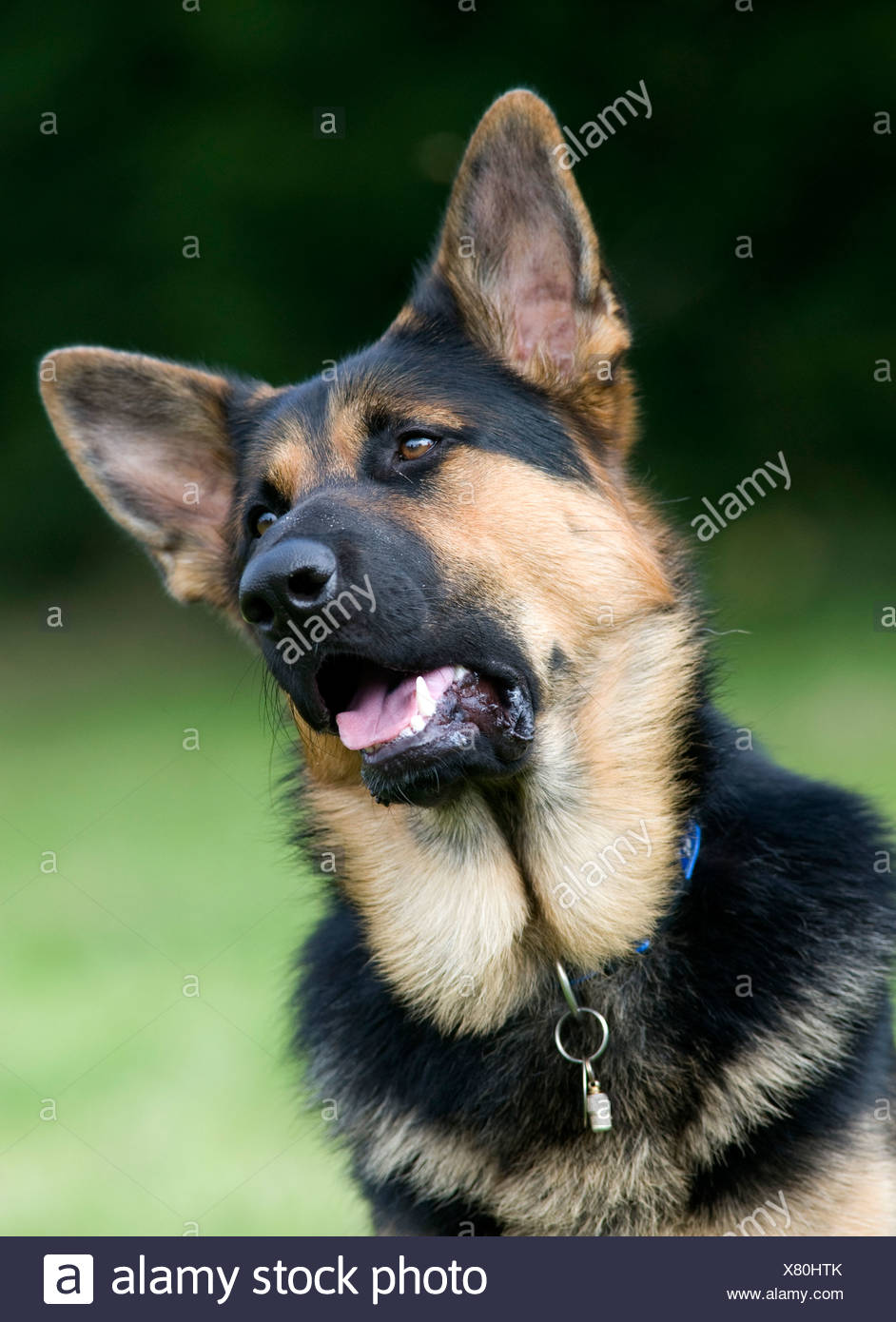 German Shepherd Dog Alsatian UK Stock Photo