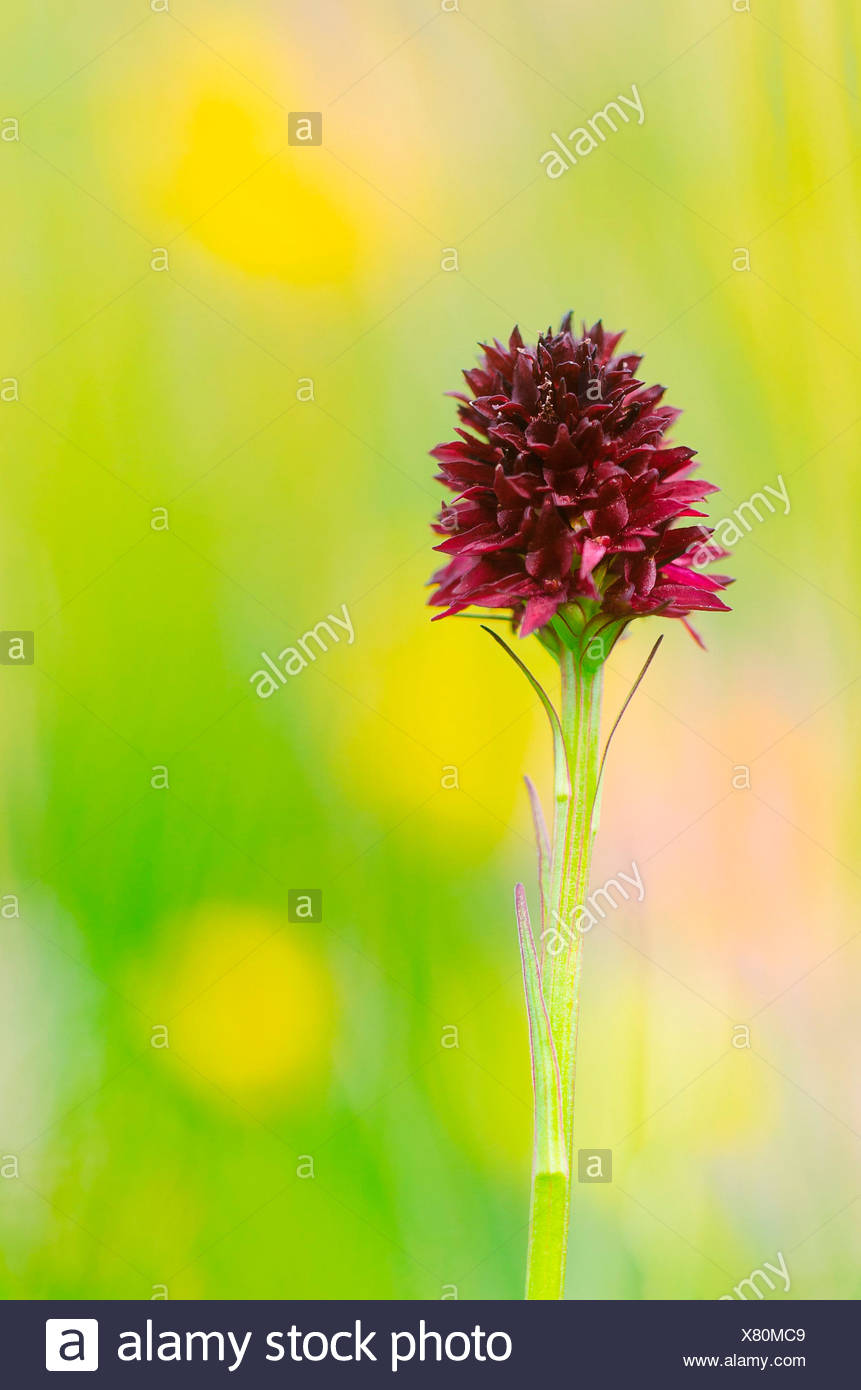 Gaver,Bagolino,Brescia,Lombardy,Italy A nigritella rubra orchid photographed in the plain of Gaver - Stock Image
