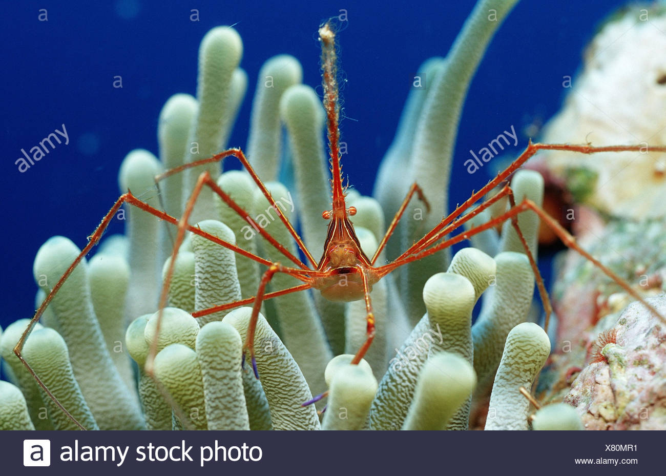 Spinning crab, Stenorhynchus seticornis, anemone, the Caribbean, Stock Photo